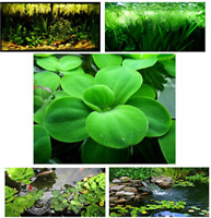 Small Water Lettuce bonus water spangles, Live Floating Aquarium Plants