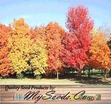 (75) Sugar Maple Tree Seeds - Northern Sugar Maple - ACER saccharum - Comb. S&H
