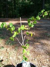 Black Hunt Muscadine Grape 1Gal Vine Plants Vines Plant Grapes Vineyards Wine