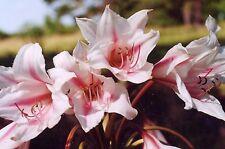 Crinum Lily, Paul Bunyan/Pat's Herbertia, Jumbo, blooming-size bulb, NEW