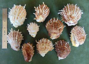 Lot of 10 pcs SPONDYLUS Pairs Spiny Oyster Shells Seashells spondy matched pair