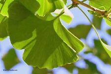 Fächerblattbaum Ginkgo biloba 8 Samen VERSAND FREI !!!