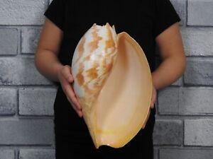 Sea shell Melo amphora 275mm ID#6003