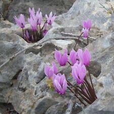 Fleurs-cyclamen graecum - 10 graines-marbré feuilles