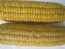 50 Samen Zuckermais *Supersüß* Popcorn Mais zum grillen ~ 0,08 EUR/Stk.