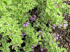 Prostanthera ovalifolia 'Variegata' - 1 Plants - 1 Feet Tall - Ship in 1 Gal Pot
