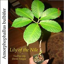 ~Lily of the Nile~ Devils Tongue Amorphophallus bulbifer Live potd small Plant