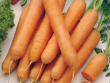 100 Carota TOUCHON carrot seeds vegetable orto garden ortaggio verdura semi