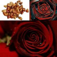 20x rote Ruby Rose Blume seltene Samen Blume Haus Garten S1G3 Dekor F1O1 D0 B3X2
