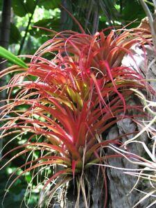 Air Plant, Bromeliad, Tillandsia Capitata Rubra (1-2cm Seedling)