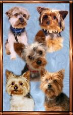 Yorkshire Terrier A6 Blank Card No P1 By Starprint