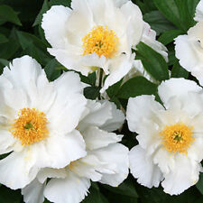 "1x Herbaceous Peony "" KRINKLED WHITE "" (Paeonia lactiflora) Chinese Rose peonie"