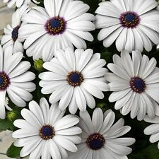 African Daisy White Flower Seeds (Dimorphotheca Ecklonis White) 50+Seeds