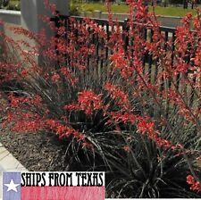 TEXAS RED YUCCA, HESPERALOE PARVIFLORA, EASY, TOUGH GLOWING COLOR, 30 FRESH SEED