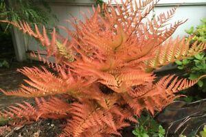 Golden Japanese Fern Evergreen Outdoor Garden Patio Plant 9cm pot