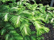 Metasequoia Jack Frost VARIEGATED DAWN REDWOOD Seeds!