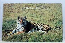 Arizona AZ Phoenix Papago Park Zoo Bengal Tiger Postcard Old Vintage Card View