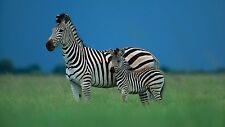 Baby Zebra 8x10 High Quality Photo (Brand New)