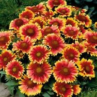 Blanket Flower (Gaillardia Aristata) -100 Seeds