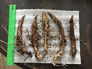 I seed seeds. rauschopf Exotic Ornamental Grass Winter Hard Frost Case Garden I