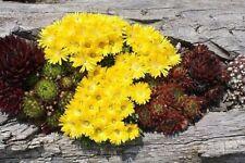 4x Delosperma Winterharte Mittagsblumen Staude Steingarten Eisblume Gr. L Gelb