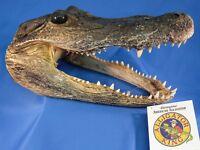 Alligator Head 5 - 6 Inches Genuine Real Gator American Taxidermy Reptile Croc