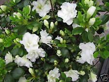 Zwergazalee Schneeperle (R) 20-25cm Rhododendron obtusum Frühlingsblüher