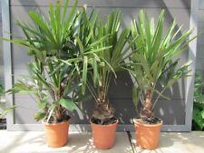 Rhapidophyllum hystrix - Nadelpalme - Pflnaze 90-120cm Winterhart bis  -24°C