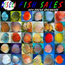 Discus Fish For Sale 5cm. Best on Ebay, All Uk Bred 100% QUALITY