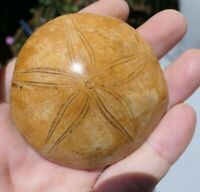 B613 OURSIN FOSSILE 101g 64mm Coquillage etoilé mineraux Echinoid urchin