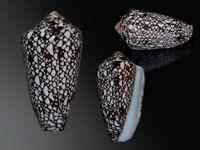 Seashell Darioconus bratcherae Great color! Black pattern! 66.2 mm