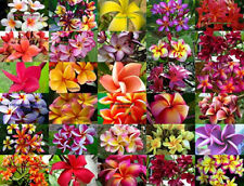 "Plumeria/Plants/Flowers/""Mixed 30 Type"" Fresh 59 Seeds"