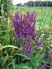 10 Blue Flowering Vervain Seeds AWESOME BLUE FLOWERS
