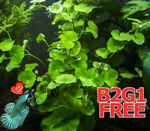 *BUY2Get1FREE wort centella asiatica 3 Live Fish Tank Plants Aquarium Plant✅