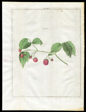 Antique Print-RASPBERRY-RUBUS-Pomologia-Knoop-1758