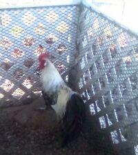 10 Silver Phoenix Chicken Hatching Eggs. Npip #3830