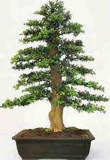 50 X BOX COMUNE SEMI DI SEMI DI Albero. che può essere utilizzato per bonsai.