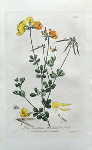 LOTUS CORNICULATUS  Baxter Original Antique Engraved Botanical Flower Print 1837