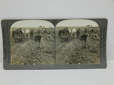 Keystone Stereoview #T122 Digging Potatoes, Red River Valley, Minnesota 16725