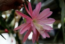 "Epiphyllum Blattkakteen Epicactus ""Rose Queen"" Steckling"