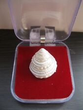 Moti Shankh, Mother of Pearl, Pearl Conch For Laxmi Pooja ~Energized S0105