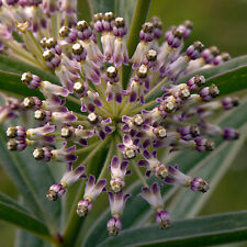Asclepias hirtella | Tall Green Milkweed | Host to Monarch | Hard-to-Find Seeds