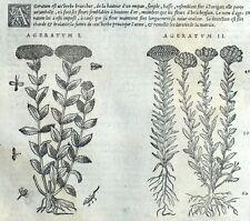 Flor Ageratum Grabado Botánica Matthioli Mattioli Matthiole Dioscorides