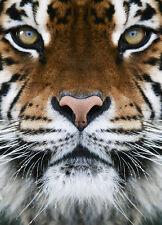 Photo Wallpaper Wall mural Wild cat eyes - Tiger for bedroom and living room