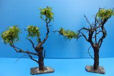 XXL 30-35 cm bepflanzter Moorkien Garnelenbaum auf Schiefer Wurzel Moorkienholz