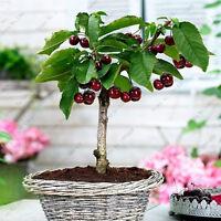 Cherry Seeds Organic Fruit Seeds Bonsai Seeds High Germination Rare Home Cherry