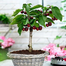 Cherry Seeds Organic Fruit Seeds Bonsai Seeds High Germination Rare Home Cherry