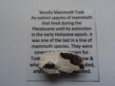 Mammoth Tusk Fragment Woolly Mammoth