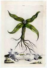 SIDEREON-Serpentaria Mirabilis Montana - Kupferstich 1696 A. Munting - Botanik