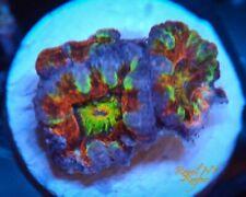 JellyBean Acan Frag Live Coral Wysiwyg Lps